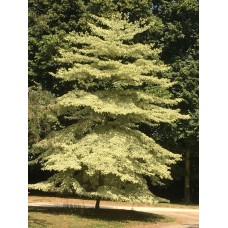 Cornus Controversa 'variegata'. 'Wedding Cake Tree'