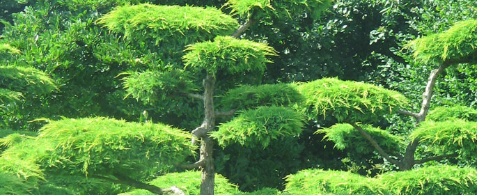 Juniperus cloud