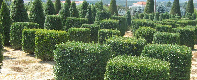 Buxus Blocks
