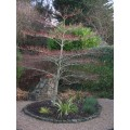 Cornus Controversa 'variegata'. 'Wedding Cake Tree'